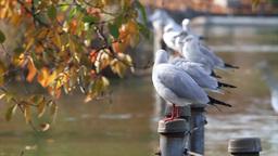 Black headed gull group Footage