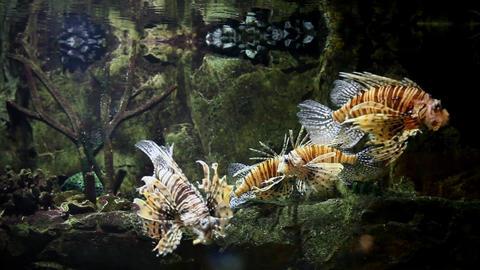 lionfish in an aquarium Footage