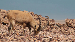 Nubian ibex feeding Footage