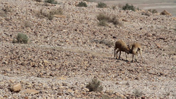 Nubian ibex fighting Footage