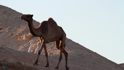 Camel in the desert Footage
