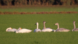 Whooper swans lying in the grass Footage