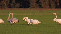 Whooper swans flock Footage