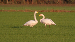 Whooper swans eating the grass Footage