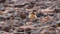 Desert lark bird Footage