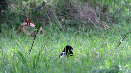 Magpie bird walks in the grass Footage