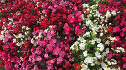 Begonias in pots Footage