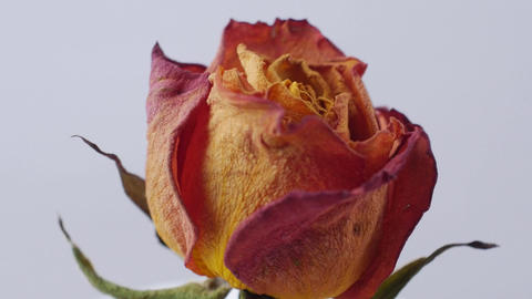 close-up of dried roses rotating on a white background Footage