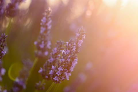 Lavender flower in Provence Fotografía
