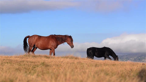 Horses of different colors that are grazing on a pasture in the mountains 01 Footage