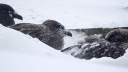 Southern Skua In storm Footage
