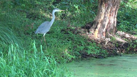 Grey heron walking on summer pond coast near beaver damaged tree Footage