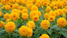 Sunflower field ビデオ