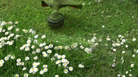 Lawn mover trimmer cut grass with english daisy flowers, slow motion Live Action