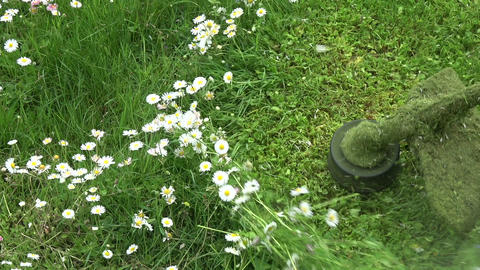 Cut grass english daisy flowers with lawn mover trimmer, slow motion Live Action