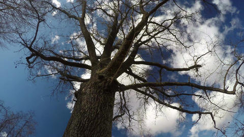 old oak trunk with branches and beautiful clouds motion on sky, time lapse Footage
