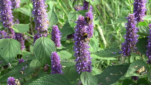 Bumblebee on blossoming medical anise hyssop Archivo