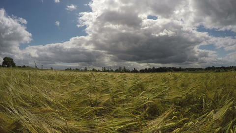 summer end barley field in wind Footage