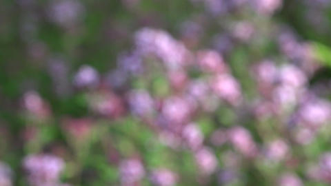 blossoming oregano wild marjoram medical herbs. Blur focus, 4K Footage