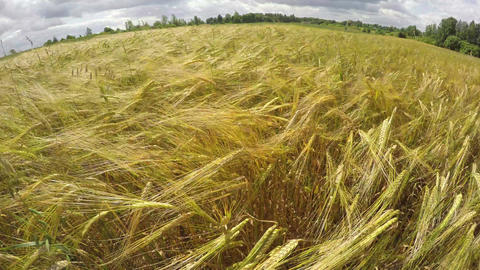 beautiful summer barley field in wind. Time lapse Footage