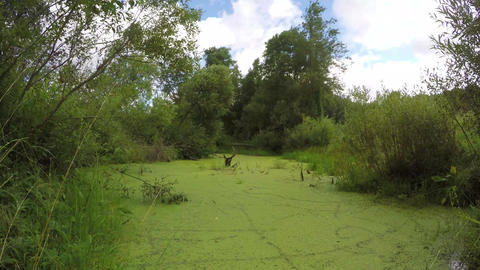 wild marsh water with green duckweed. Time lapse Footage