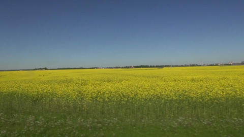 beautiful spring blossoming yellow rapeseed fields from car window – blur speed Live Action