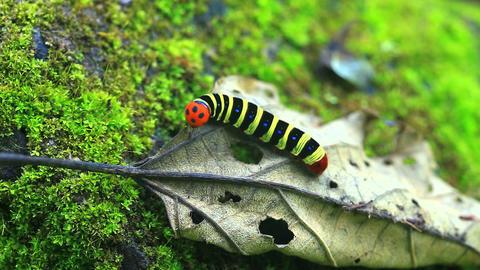 Beautiful caterpillar creeping on a dry leaf Archivo