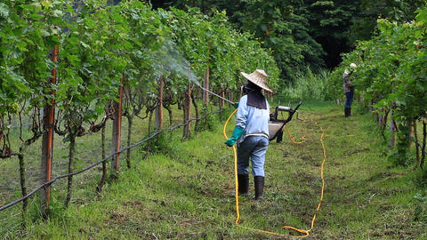 Spraying fertilizer in a vineyard Foto
