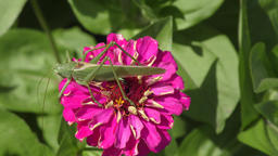 Katydid on flower Footage