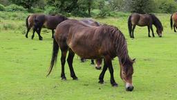 Exmoor ponies Exmoor National Park Somerset UK Footage