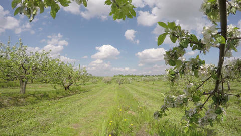 blossoming apple tree garden orchard and clouds motion, time lapse Footage