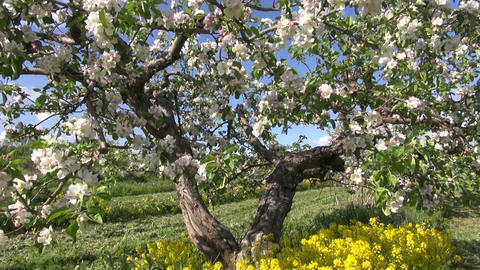 beautiful blossoming apple tree in spring orchard garden Footage