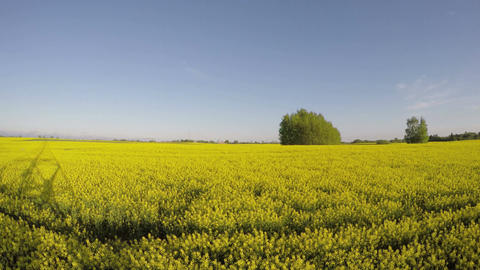 evening shadows on beautiful yellow blossoming rapeseed field, time lapse Footage
