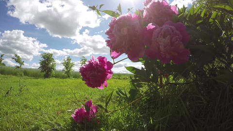 beautiful peony blossoms in wind and sunshine sunbeam. Time lapse Footage