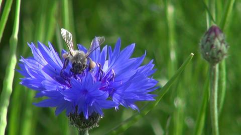 summer bee on cornflower Footage