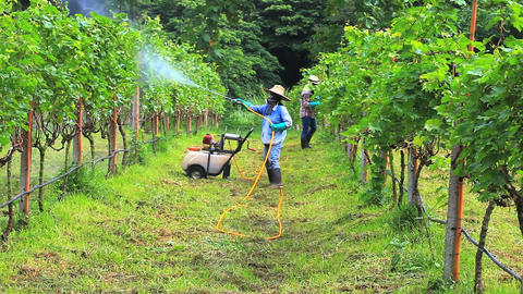 Woman spraying fertilizer in a vineyard Footage