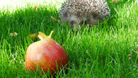 Hedgehog in Green Grass With Red Ripe Apple Footage