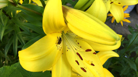 A bee collects nectar on a yellow flowering lily Footage