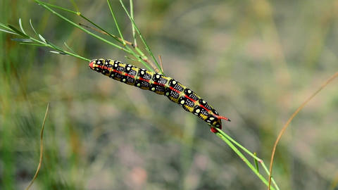 Hyles euphorbiae caterpillar on a stalk of grass Footage