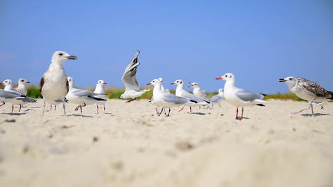 A flock of sea white gulls on a sandy shore on a summer day Footage