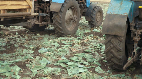 The tractors are harvesting green cabbage Footage