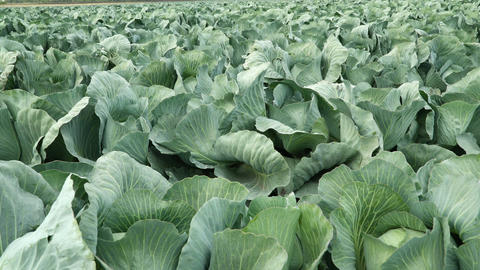 Freshly growing green cabbage Footage