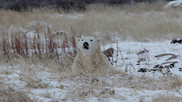 Polar bear lying on the snow and looking at camera Footage