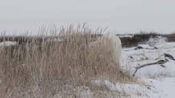 Polar bear behind bush Footage