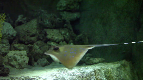 Stingray flying underwater Footage