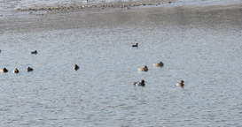 Ducks swimming in the river on marshland Footage