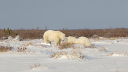 Polar bears playing in the snow Footage