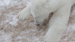 Polar Bear Feeding Grass In The Snow stock footage