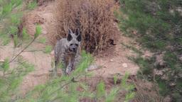 Striped hyena Footage