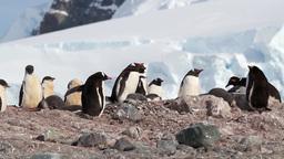 Gentoo Penguins Footage